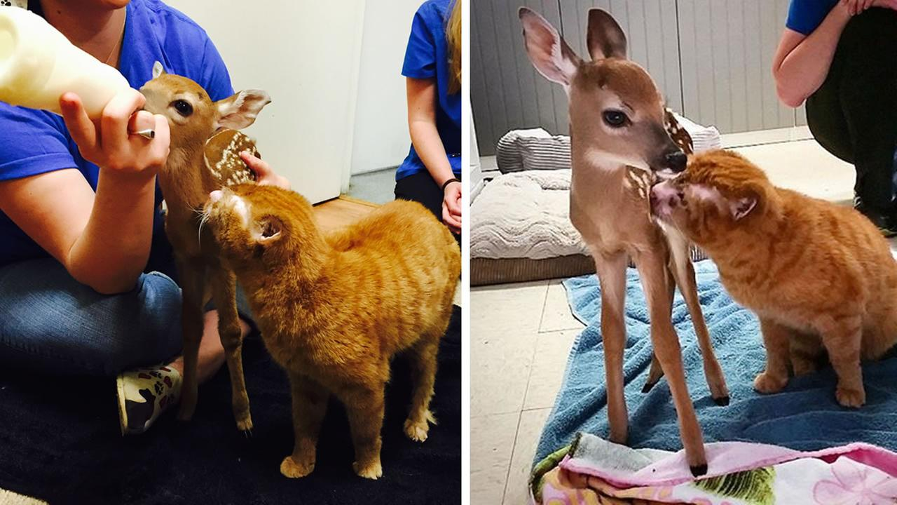 Russell the cat has befriended a fawn that lost its mother.