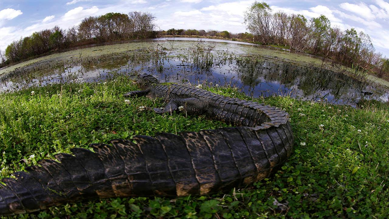 An alligator rests on the bank in Texas