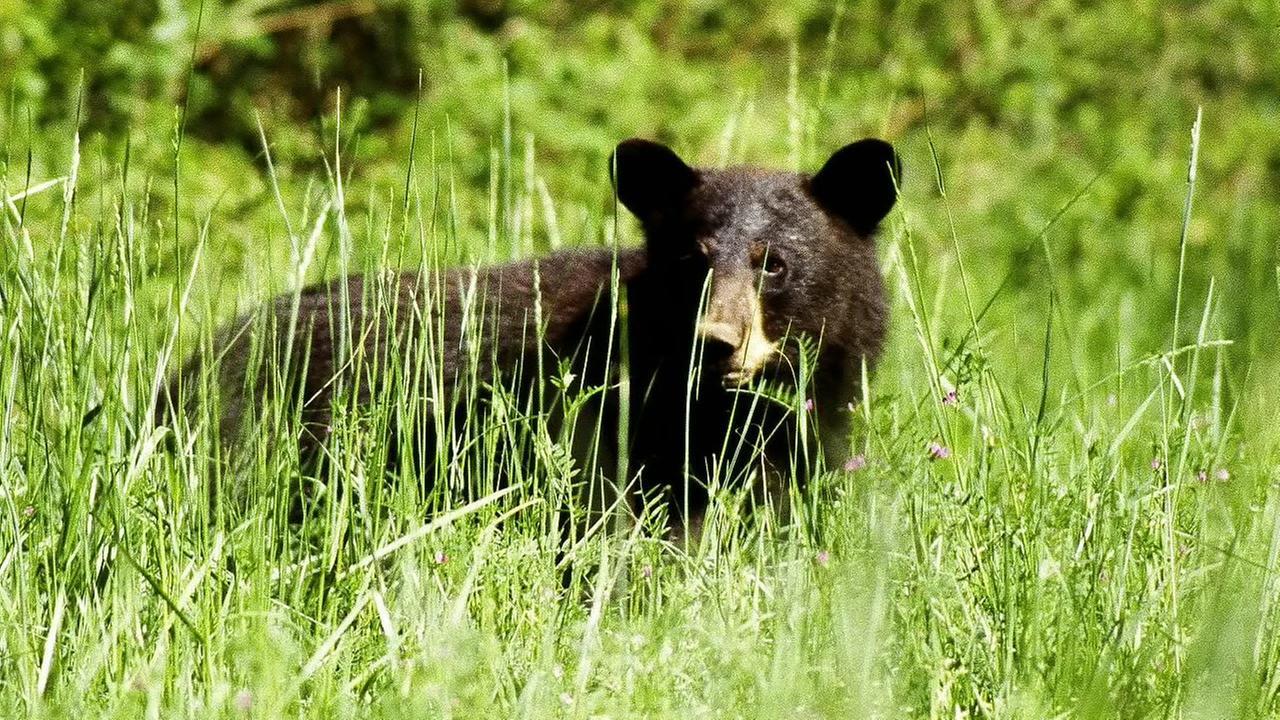 Black Bear (image source: Wikimedia Commons)