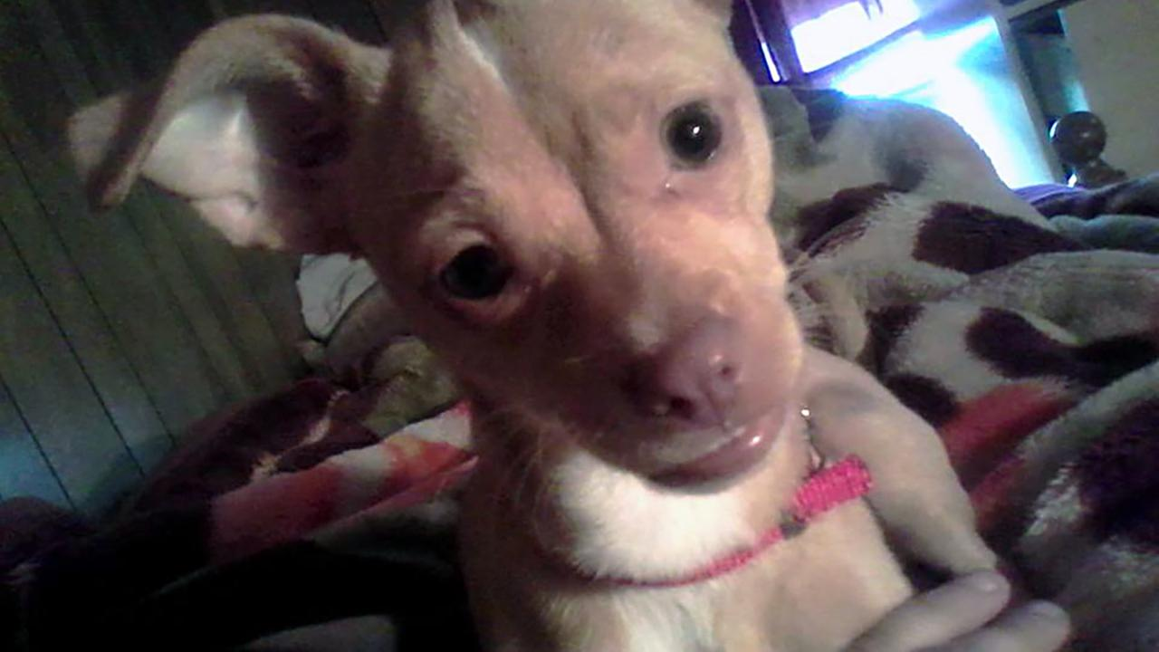 Her comfort dog, a Chihuahua mix, was stolen off Lisa Buenteos front porch.