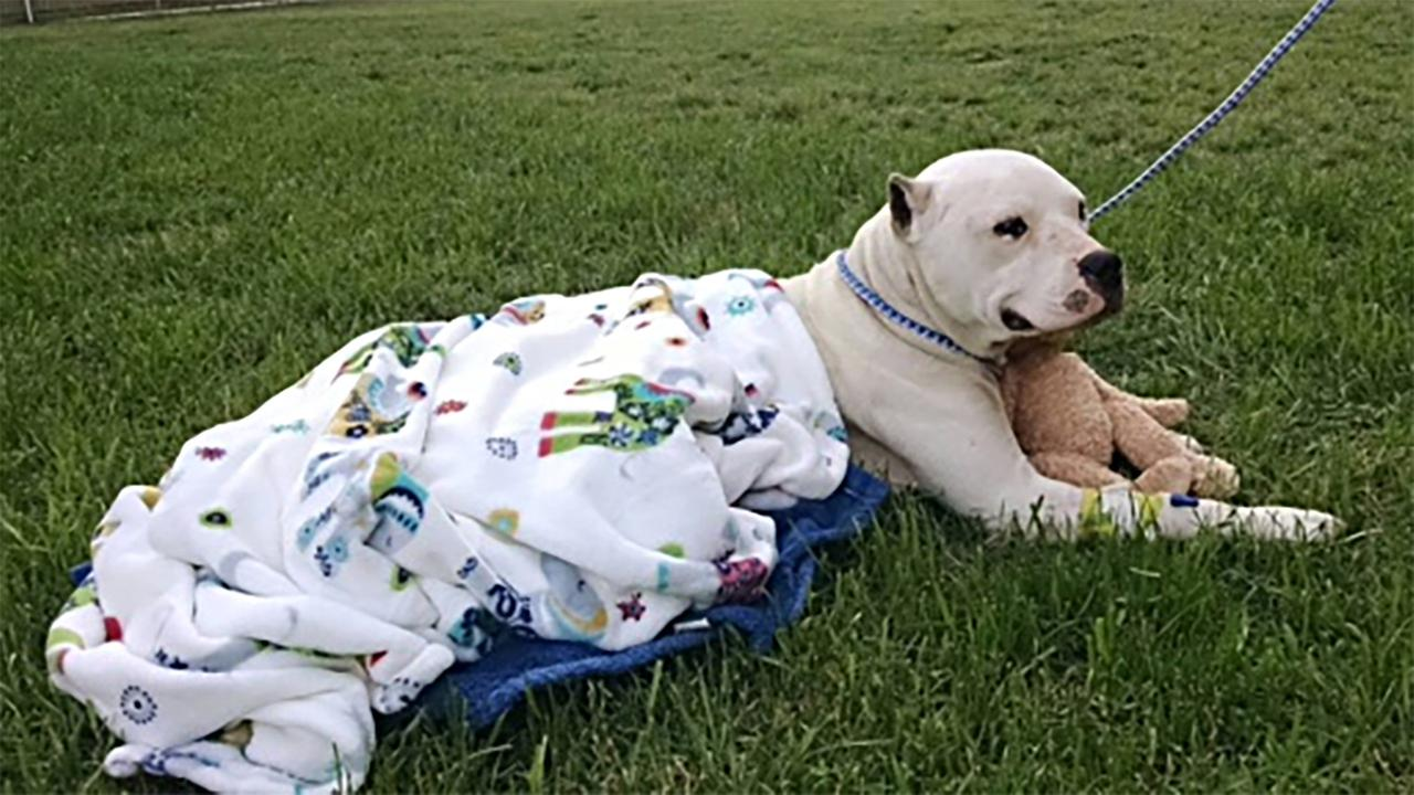 Zeus, with the help of his teddy bear, is recovering Thursday after surgery.