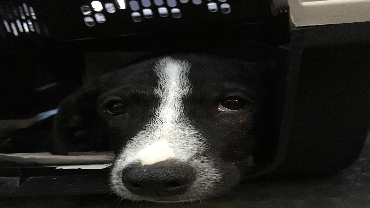 Dozens of homeless pets are being transported from Puerto Rico to the SPCA of Wake County