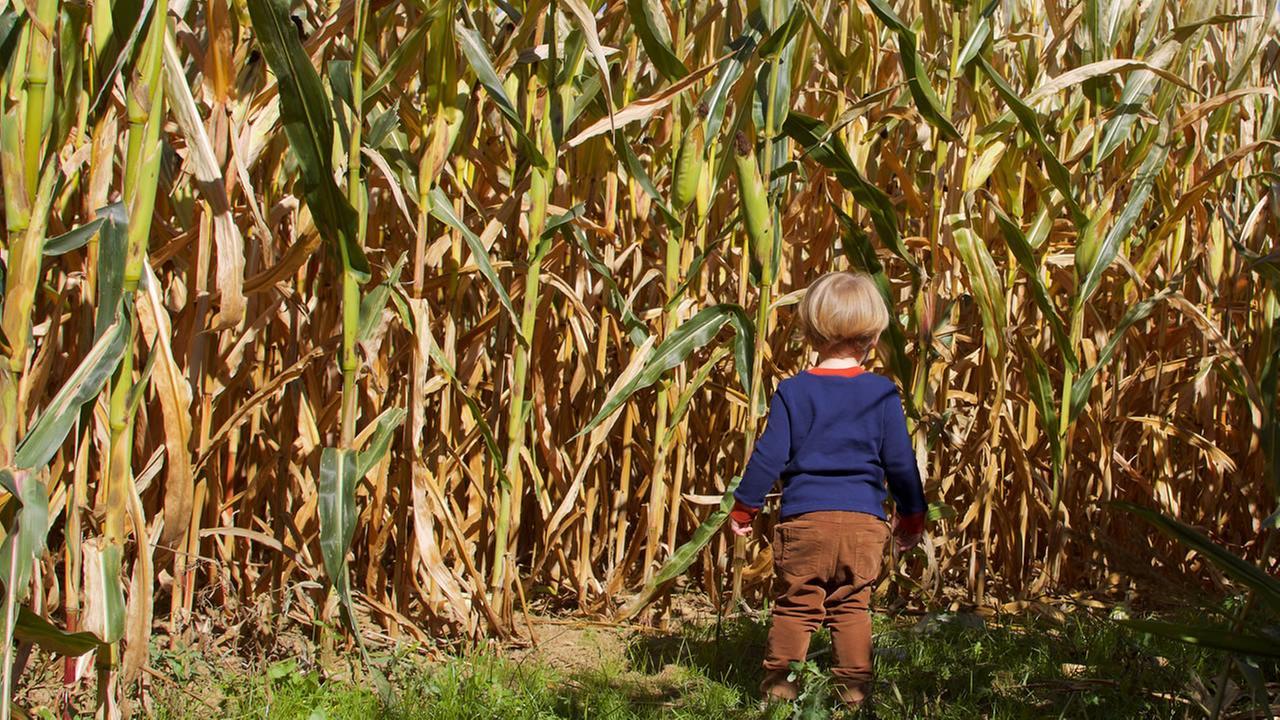 Corn maze (Shutterstock)