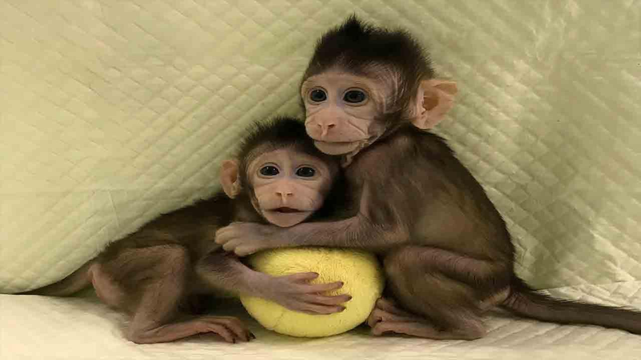 Cloned monkeys Zhong Zhong and Hua Hua sit together with a fabric toy
