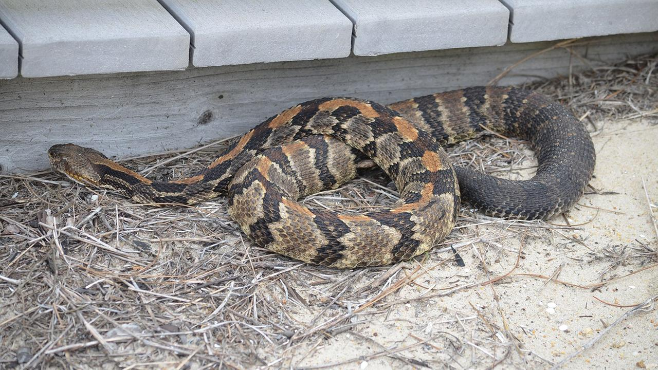 Officials warn beach-goers about rattlesnakes at Outer Banks
