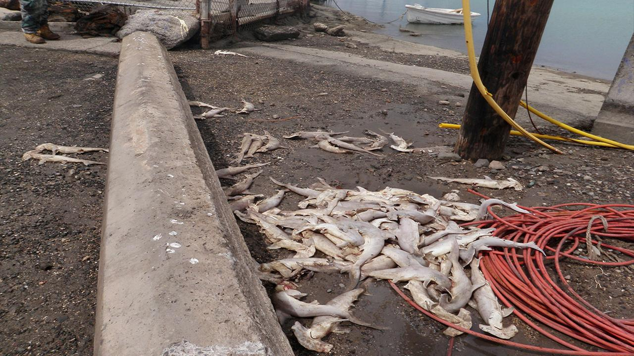 Dozens of baby hammerhead sharks that were found dead near Keehi Lagoon in Honolulu.