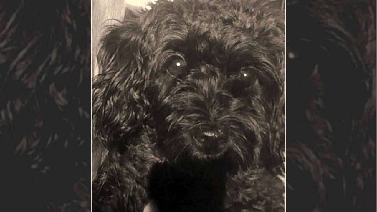 Bella is considered a Yorkie Poo