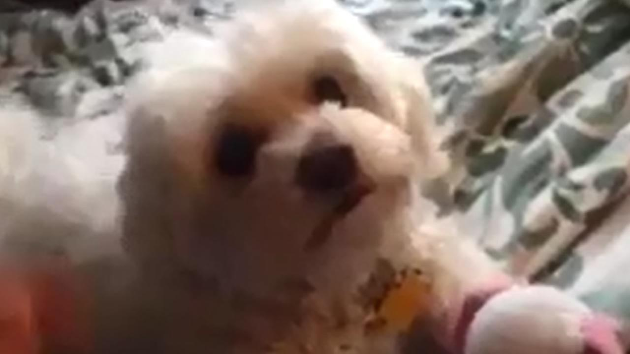 The playful Maltese poodle mix affectionately known as Bella went missing last Wednesday.