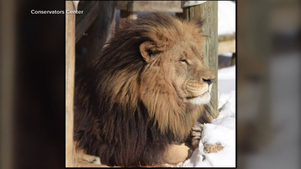 New details in investigation into lion attack