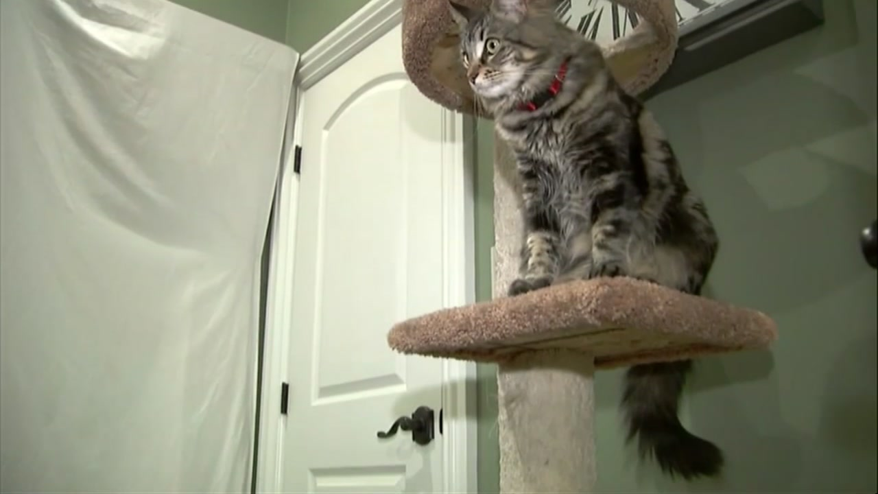 Two cats are living large at a $1,500-a-month studio apartment their owner rents for them in Silicon Valley, where a housing shortage has sent rents skyrocketing.