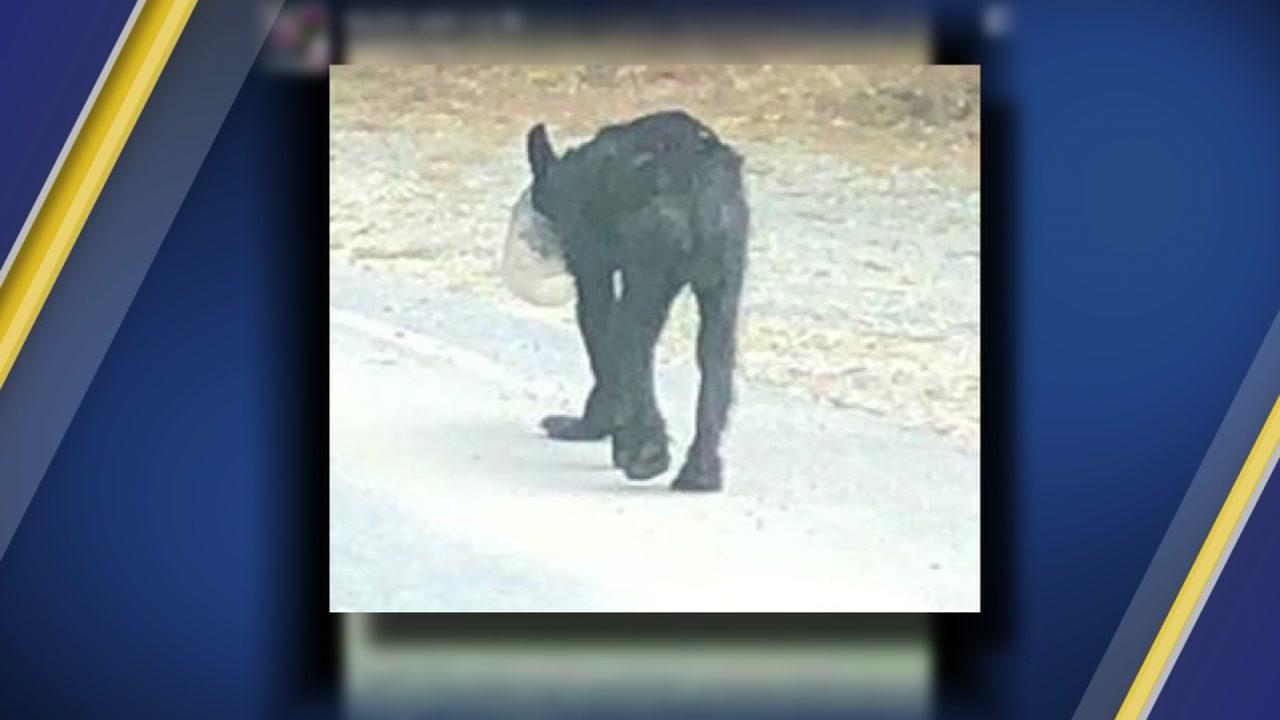 A bear in western North Carolina apparently got his head stuck in a large jar.