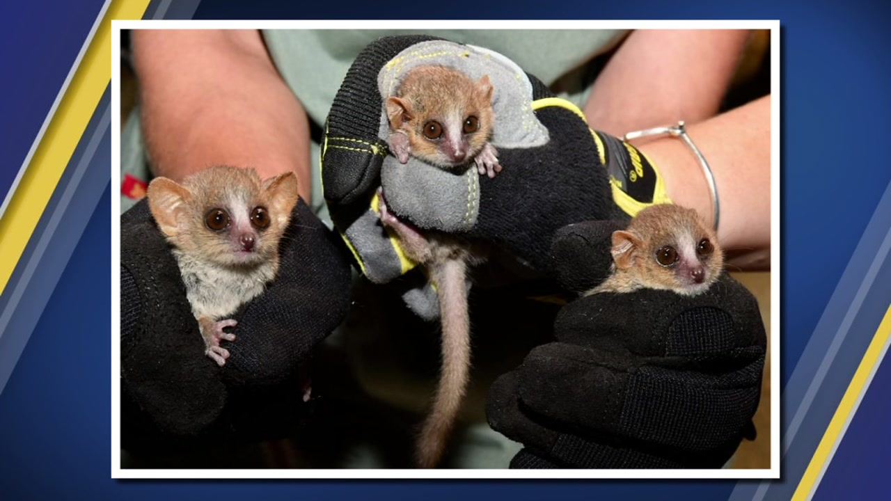 Duke Lemur Center welcomes mouse lemur triplets