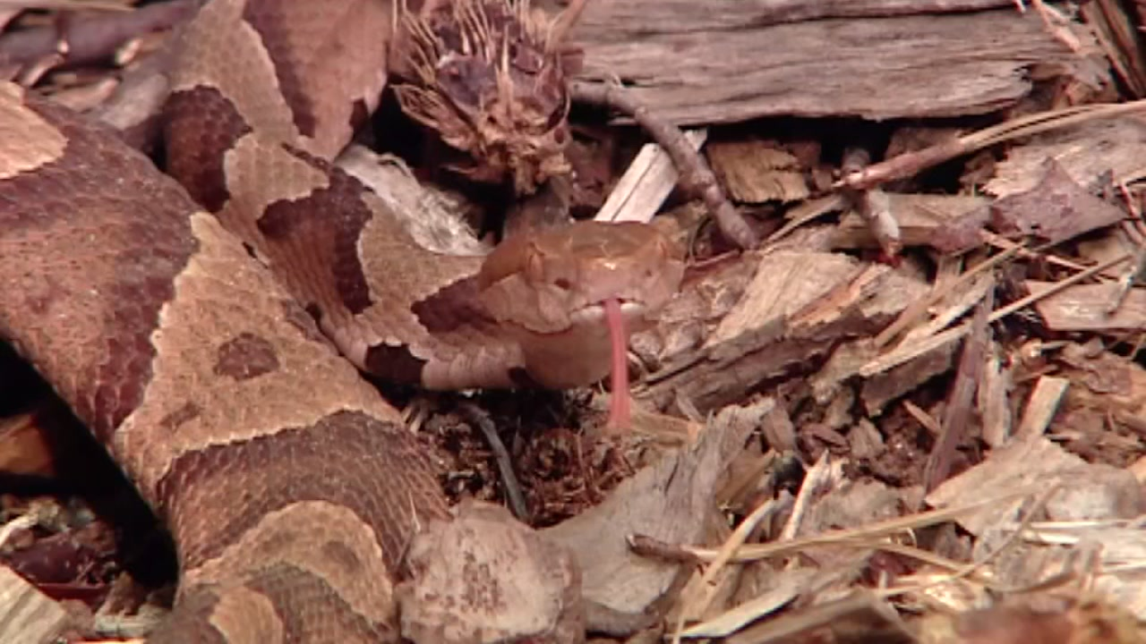 Pets across the Triangle are having troubling encounters with copperheads this time of year.