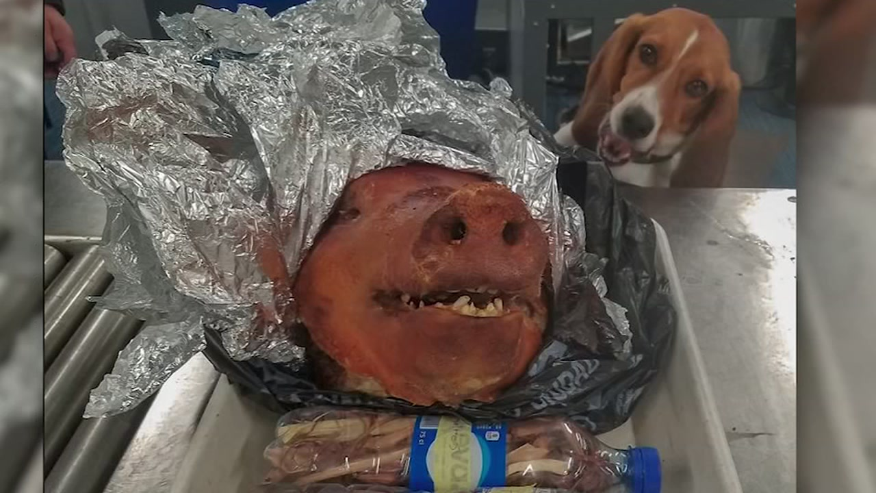 CBD canine sniffs out cooked pig at Atlanta airport