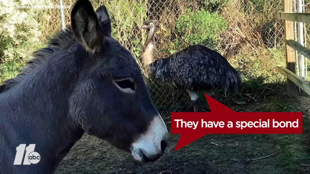 A donkey and a emu, abandoned by their owner, have developed a special bond that is creating obstacles for their new owners.