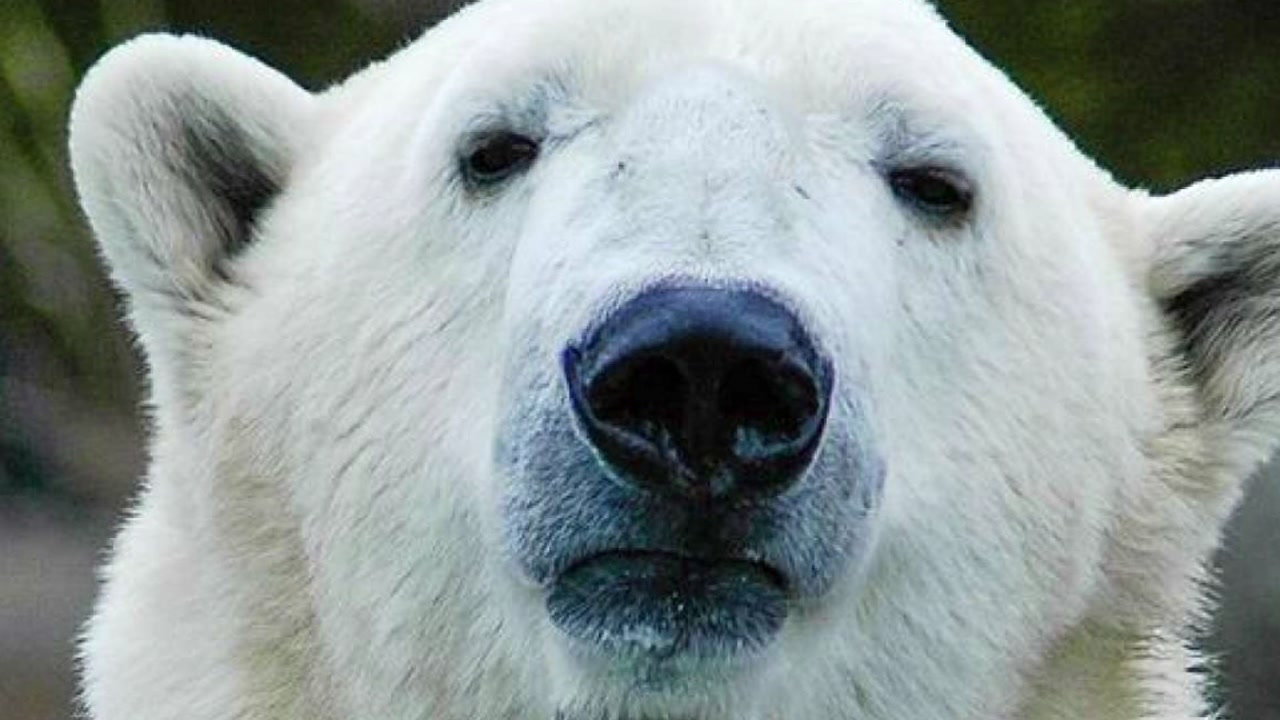 The North Carolina Zoo wants your help naming their newest adopted Wild Polar Bear.