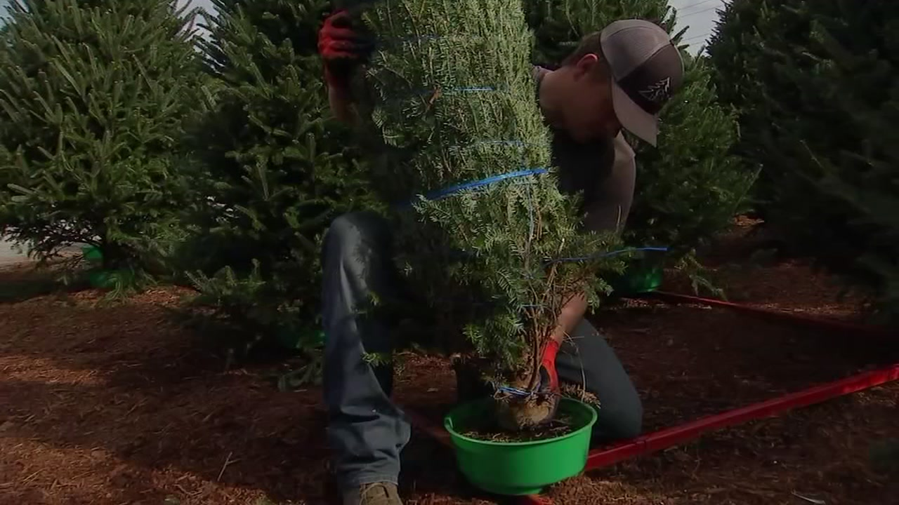 People are buying many Christmas trees at the N.C. State Farmers Market in Raleigh.