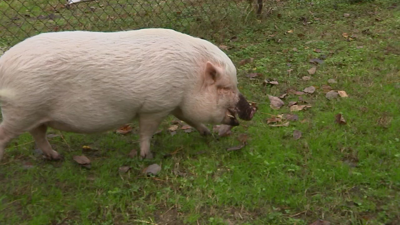 A veterinarian says her pig can predict the weather.
