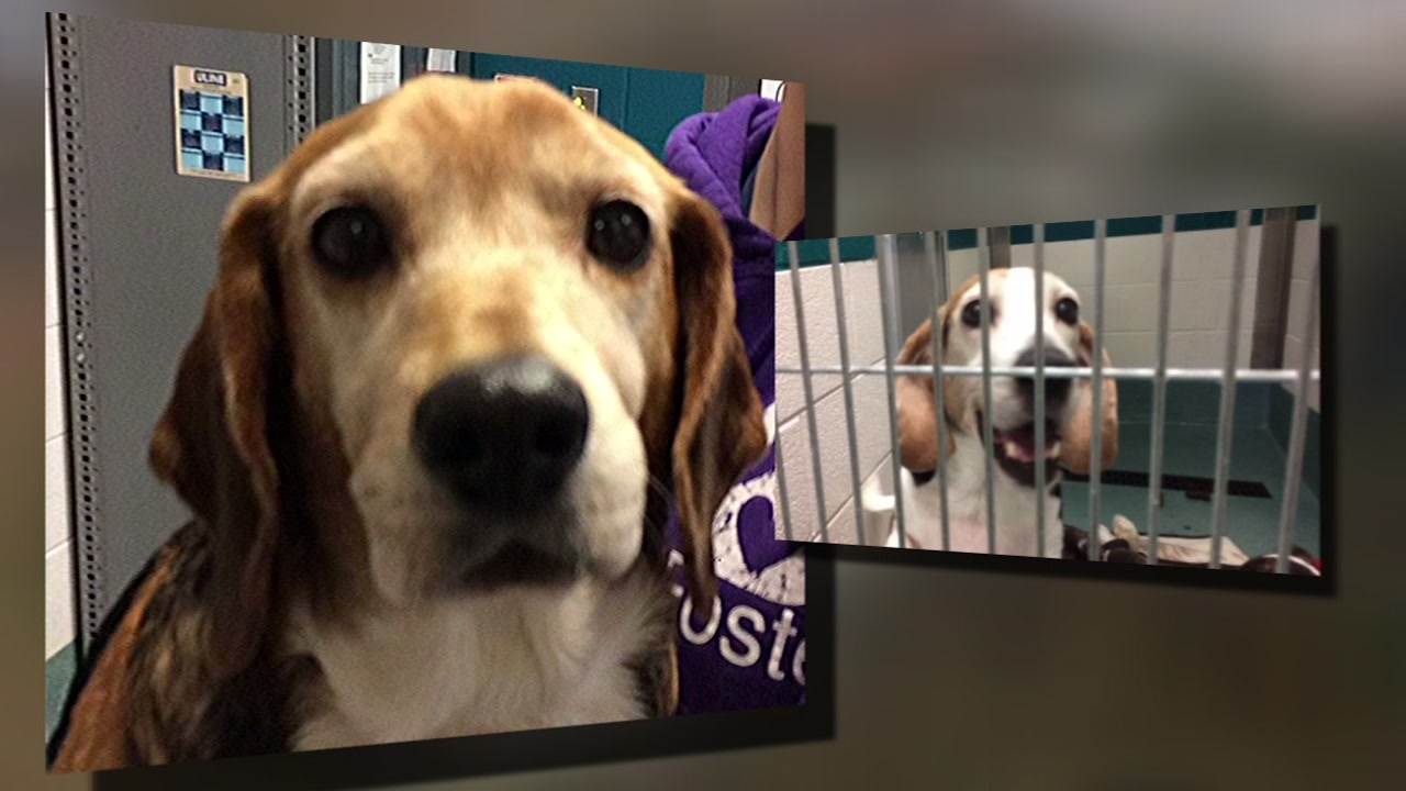 Dogs rescued in Wake County being nursed back to health.