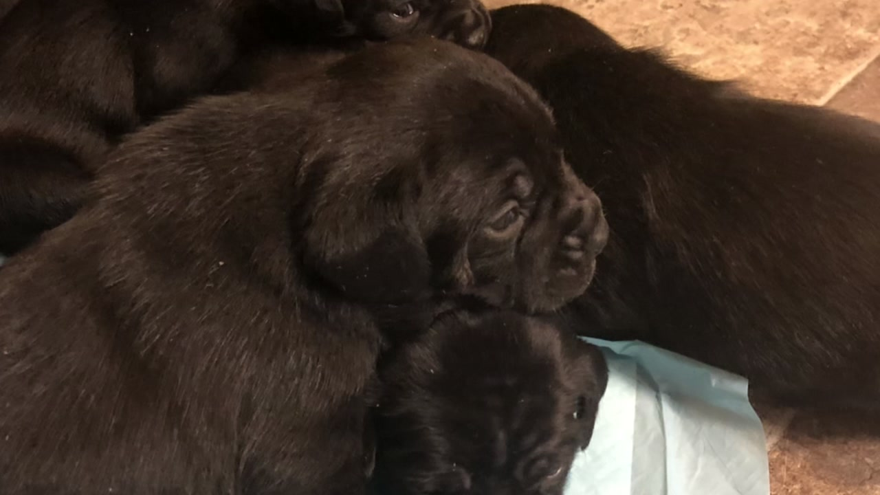 Wayne County Sheriffs Office is investigating after six puppies were stolen during a home invasion in Goldsboro.