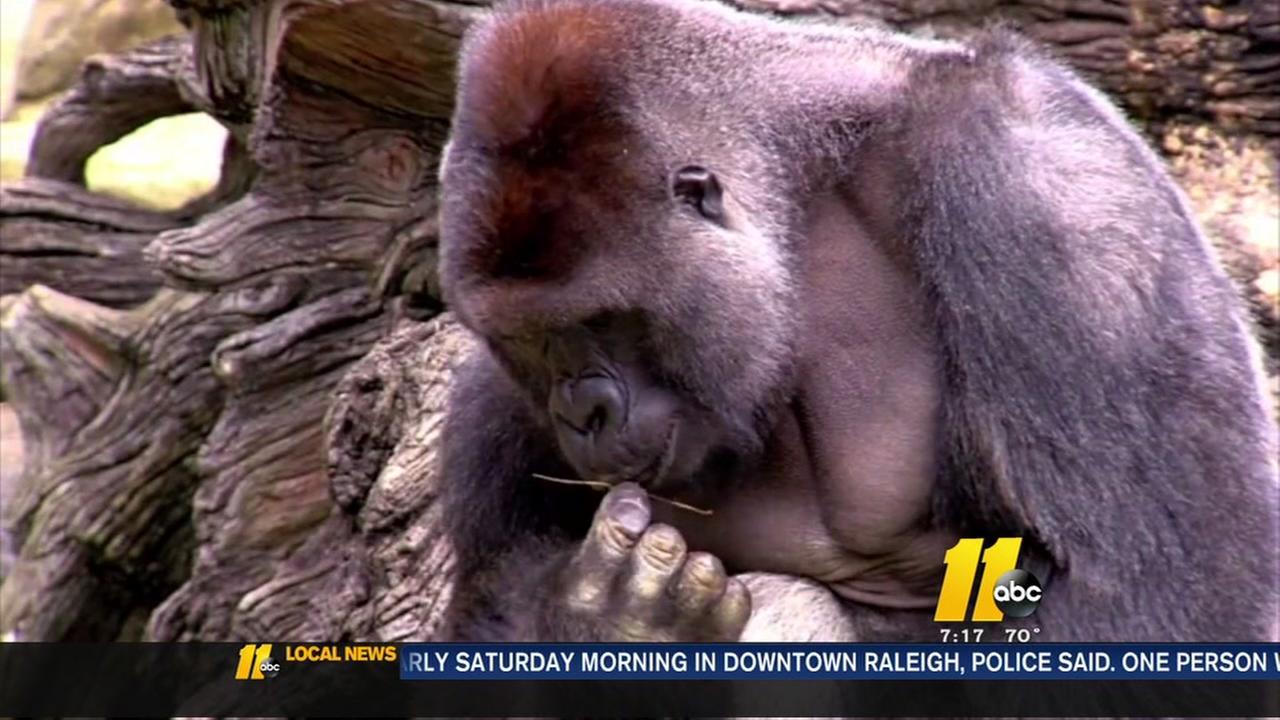 Ohio Zoo kills gorilla to protect kid