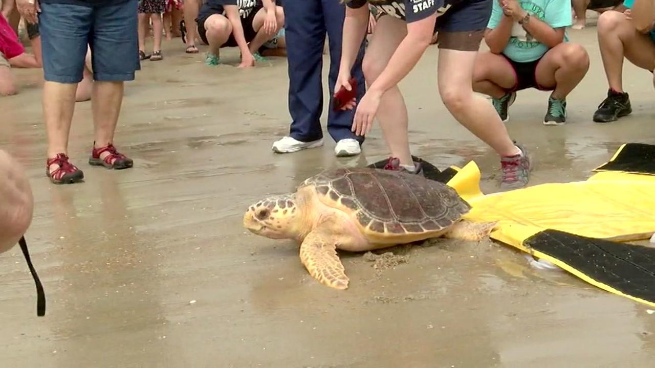 Turtles released on NC coast