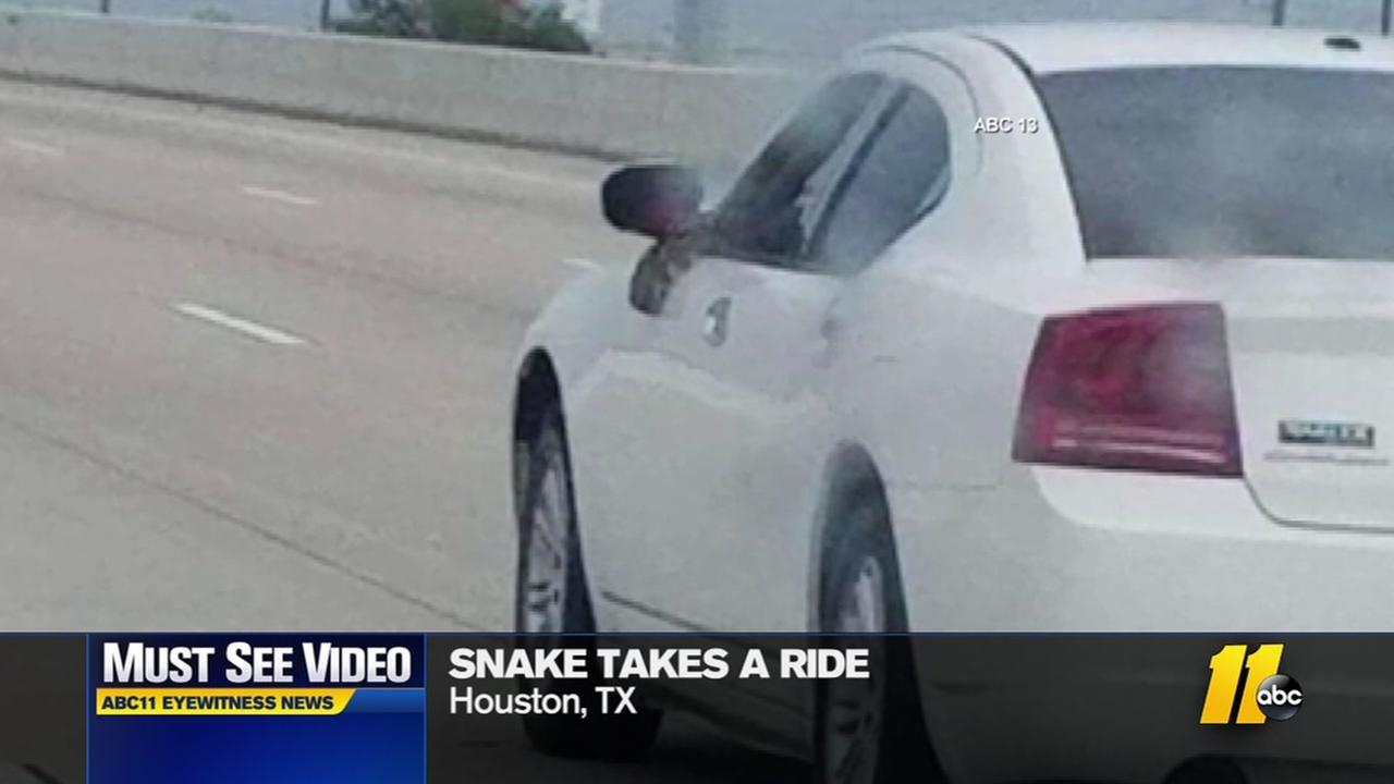 Must-see video: Snake takes a ride in car