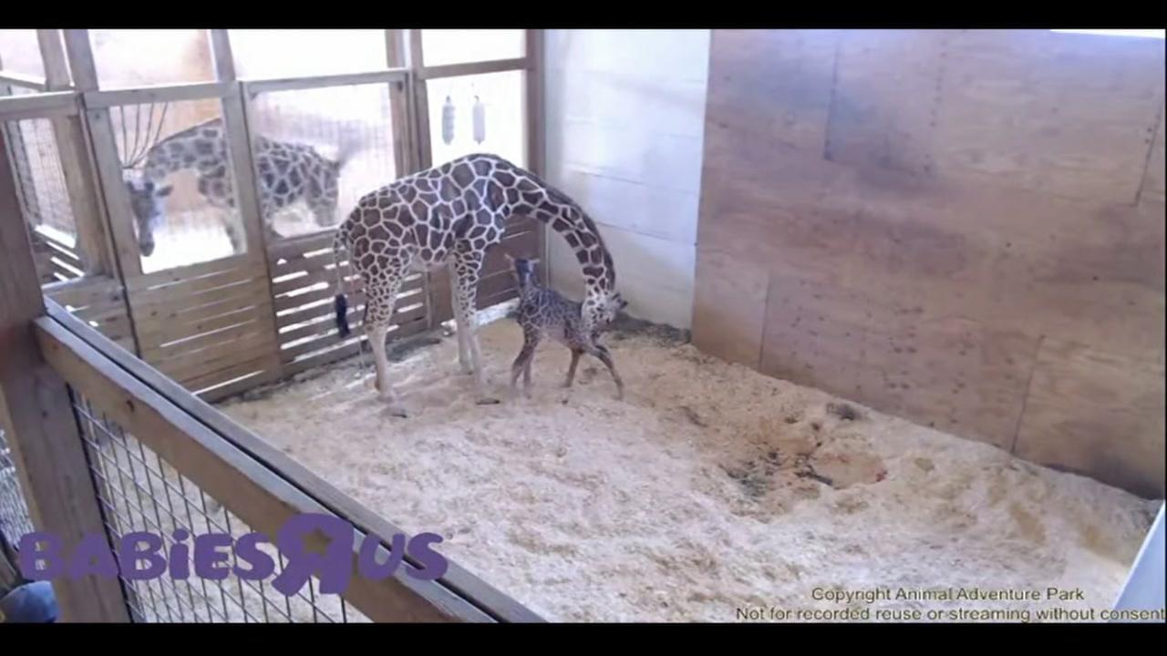 April the Giraffe gives birth to calf