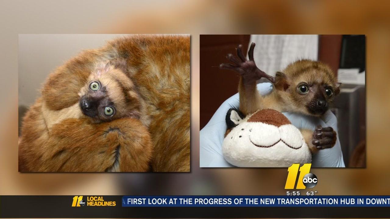 Endangered lemurs give birth at Duke Lemur Center