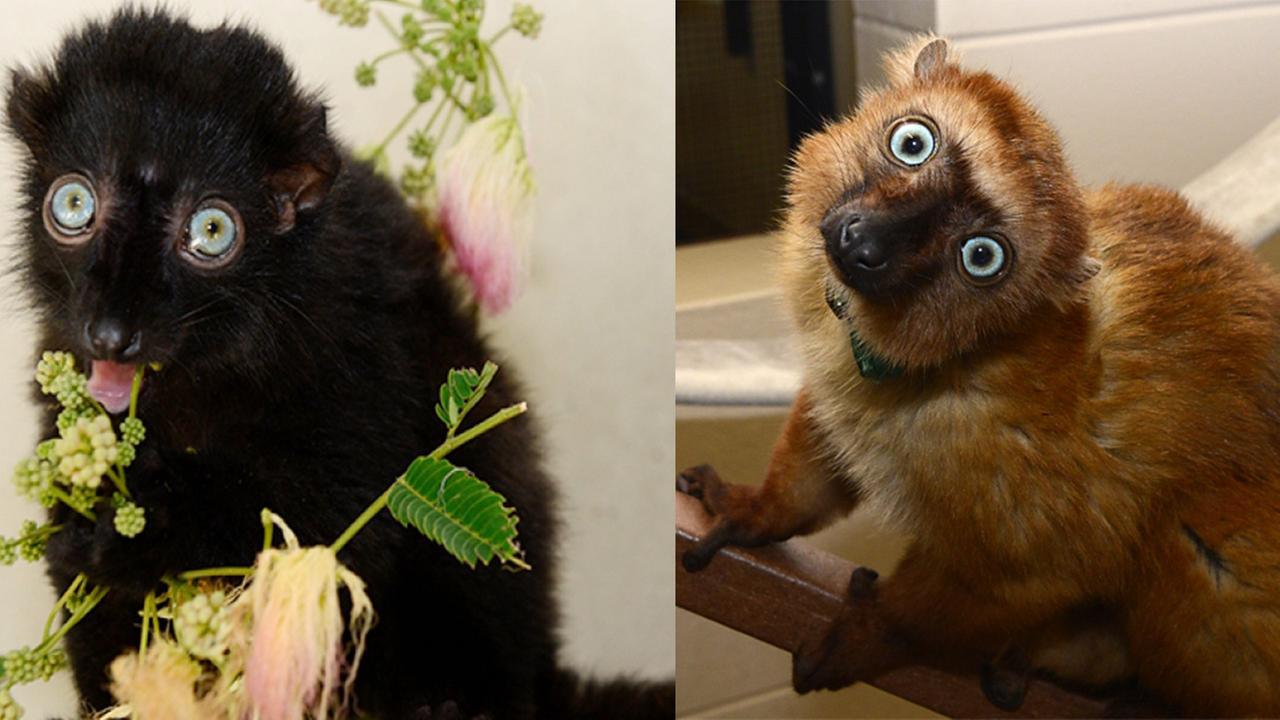Mangamaso (left) and Velona (right) were welcomed to Duke Lemur Center on Thursday