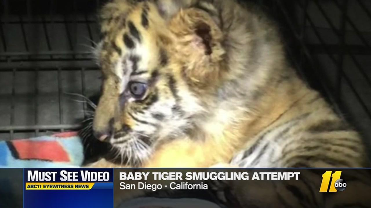 Baby tiger smuggling attempt