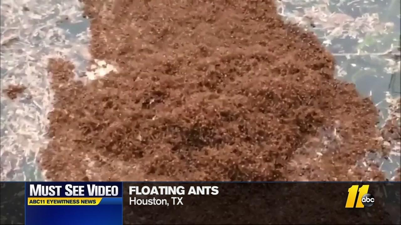 Red ants floating in flood waters