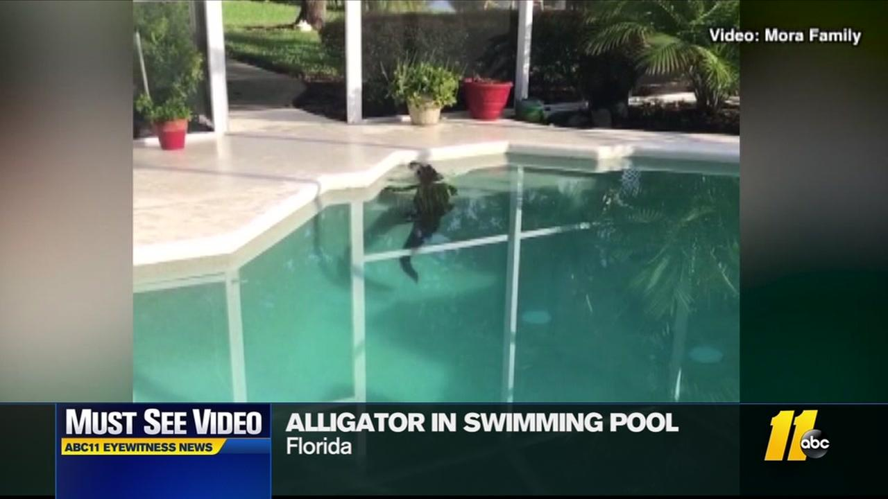 Alligator found in pool