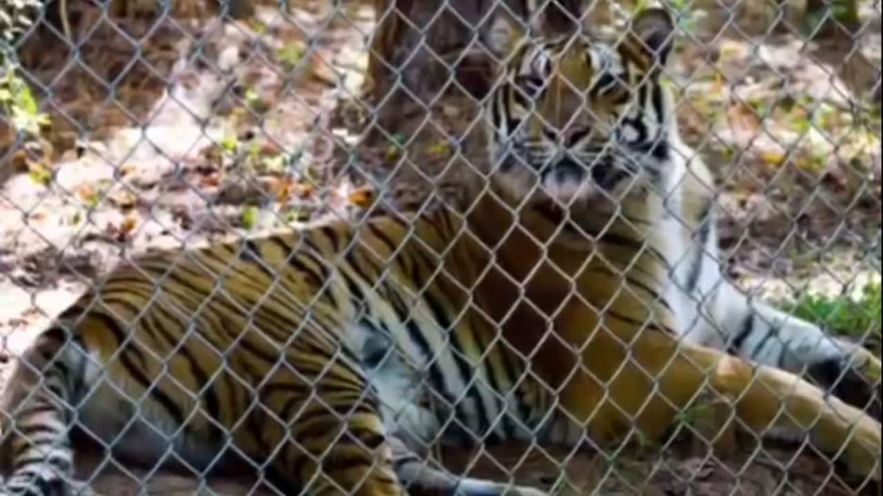 A visit to the Carolina Tiger Rescue