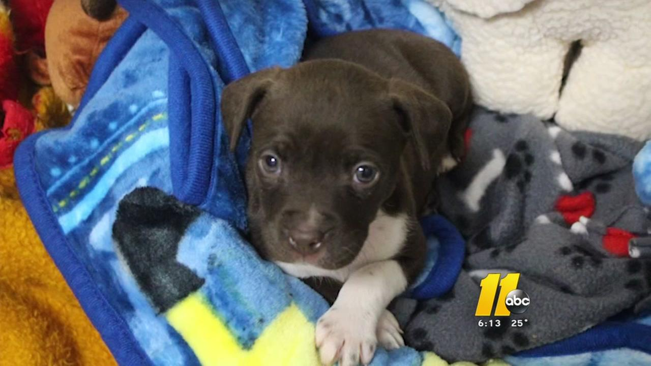 SPCA of Wake County rescues puppy abandoned in freezing temps
