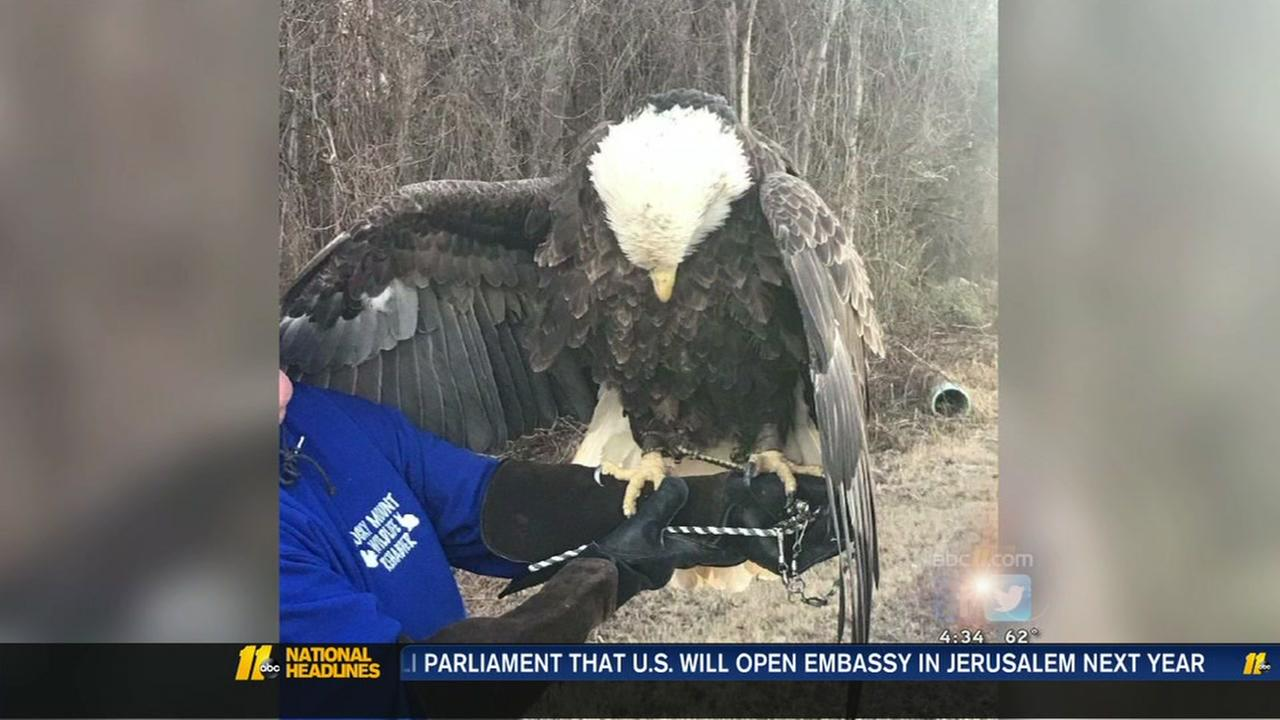 Bald eagle dies of lead poisoning