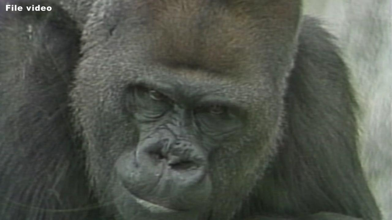 NC Zoos first gorilla dies at age 50