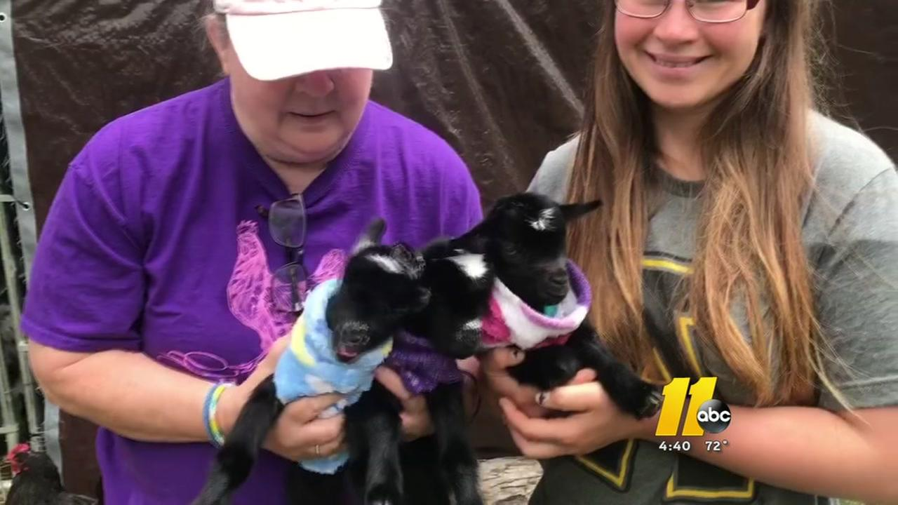 Winterpast Farm welcomes goat triplets!