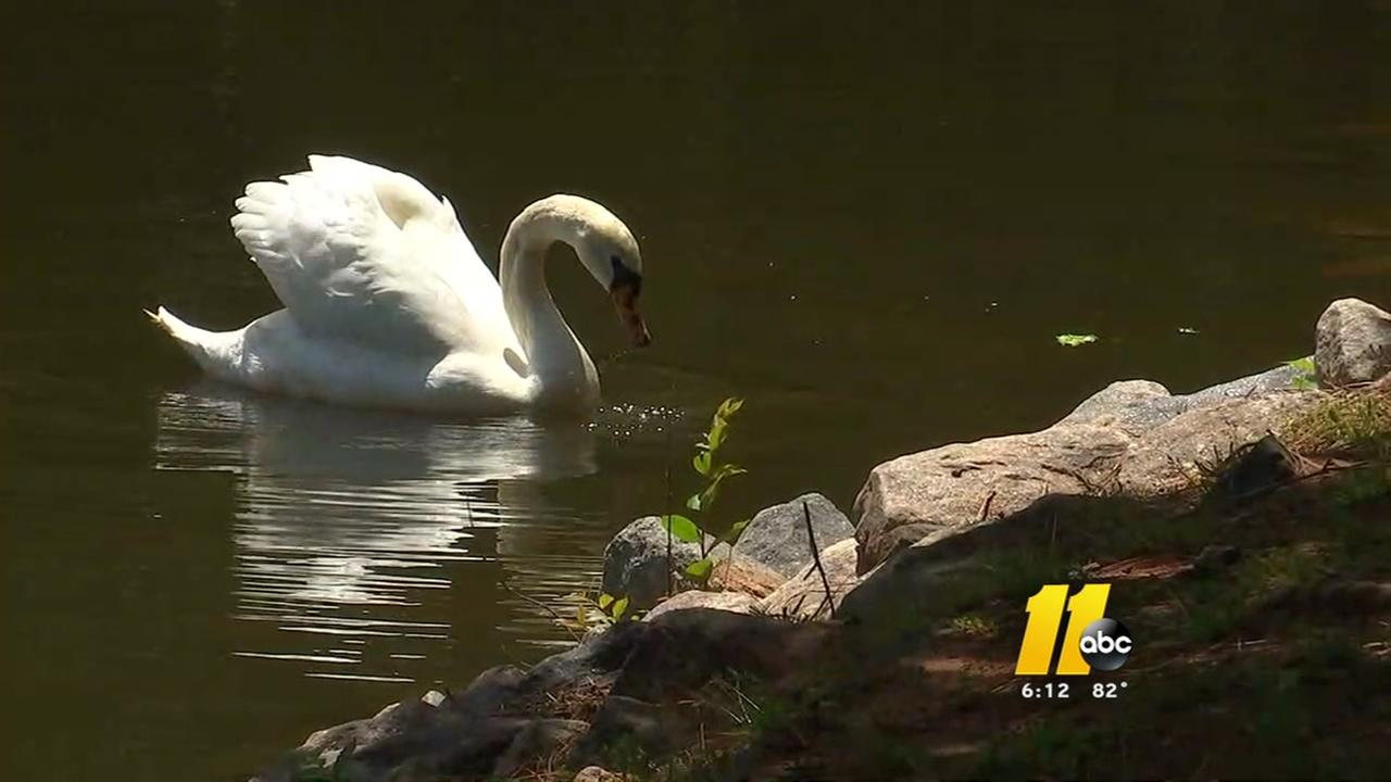 Swan gets barb removed thanks to Cary resident