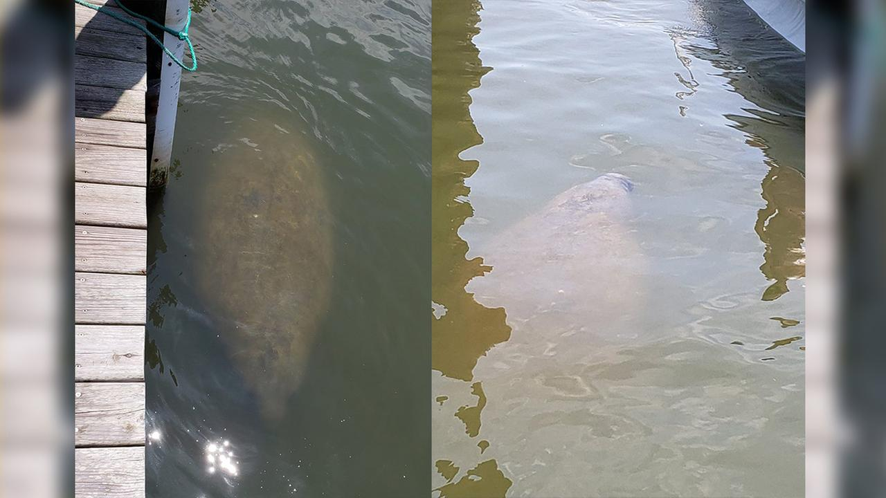 A West Indian manatee was spotted in the Oregon Inlet Marina last Saturday.