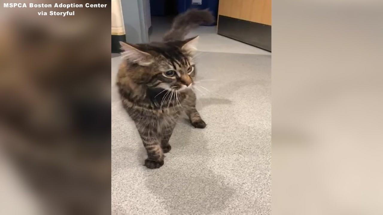 Cat with neurological condition cant stop dancing