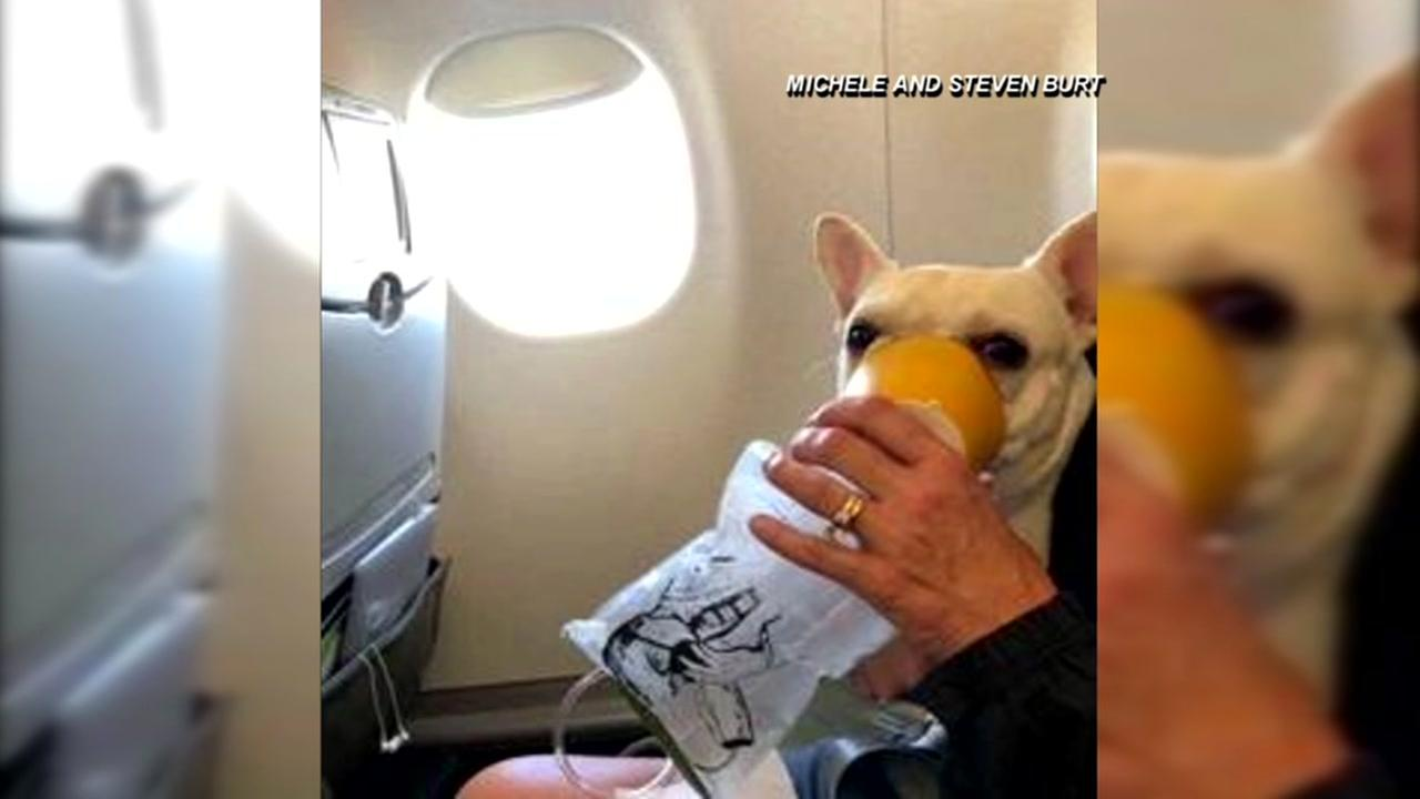 Jetblue flight attendant helps French Bulldog on flight