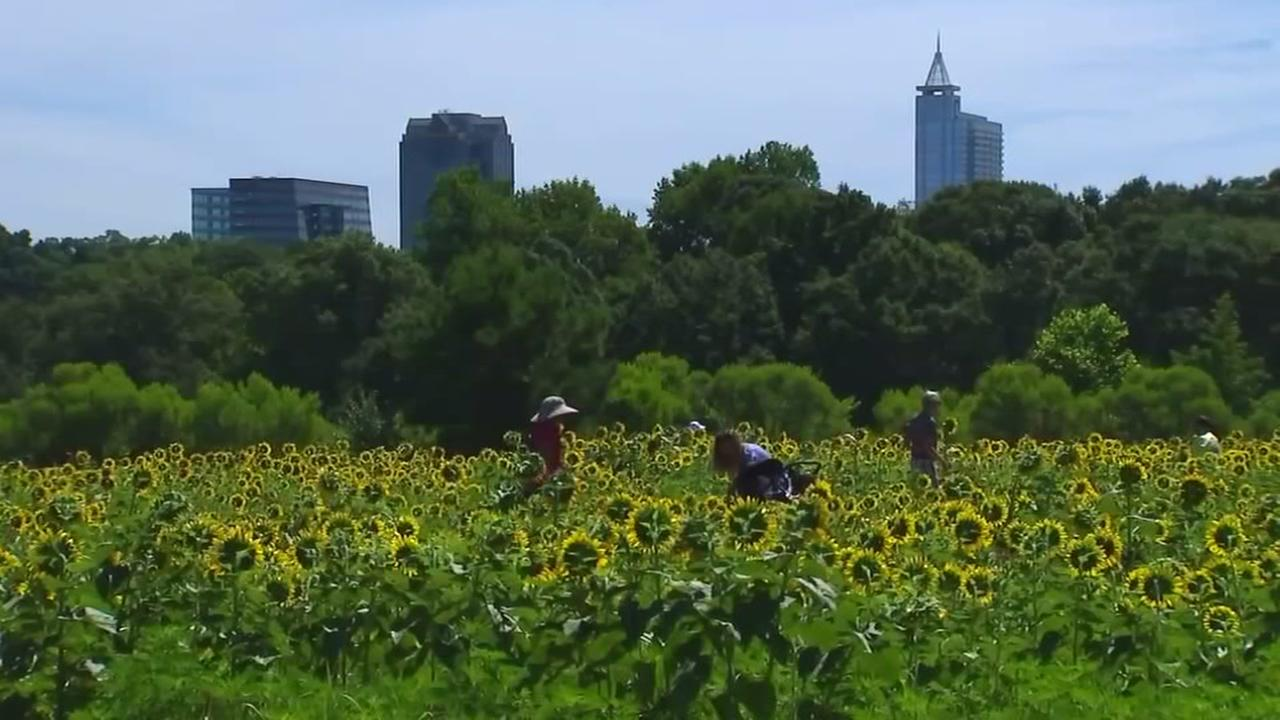 How to avoid a bumpy ride when visiting Raleighs sunflower field