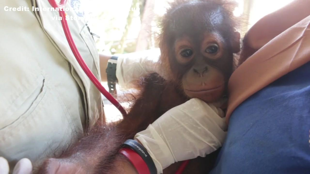 Baby orangutan found standing in feces, trapped in tiny cage