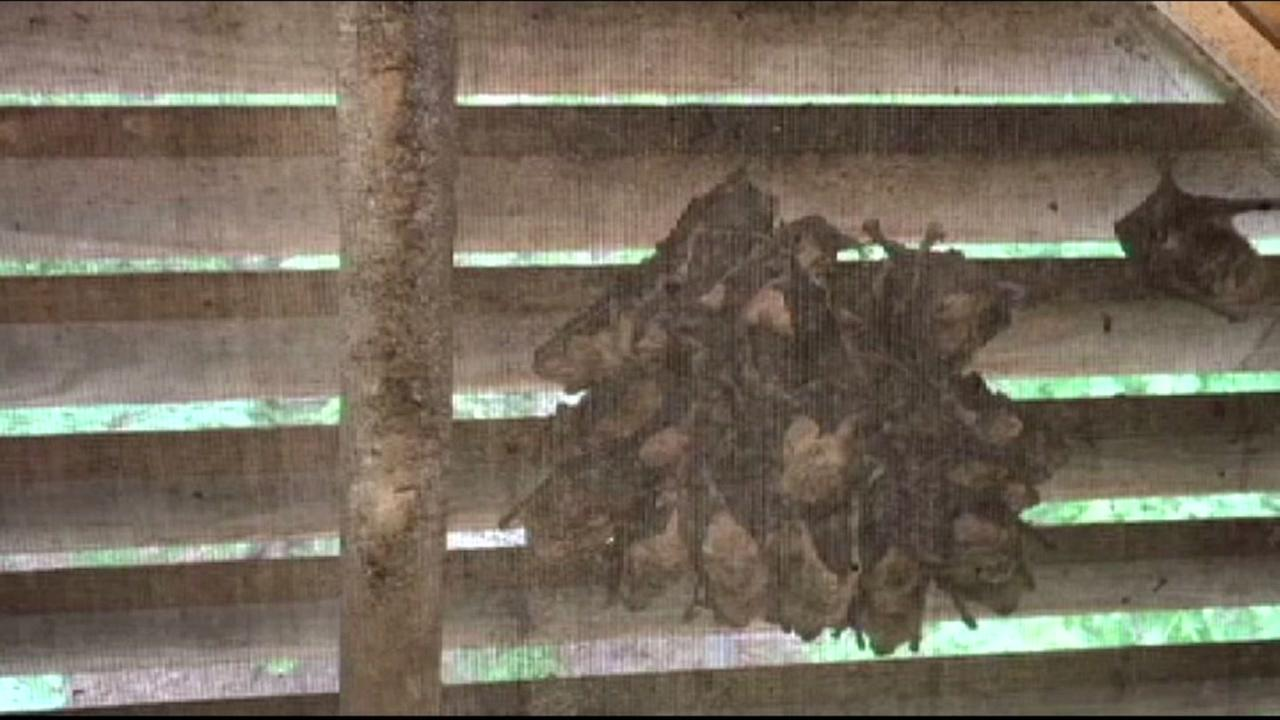 Bats infest NC homes, and residents cant do anything about it