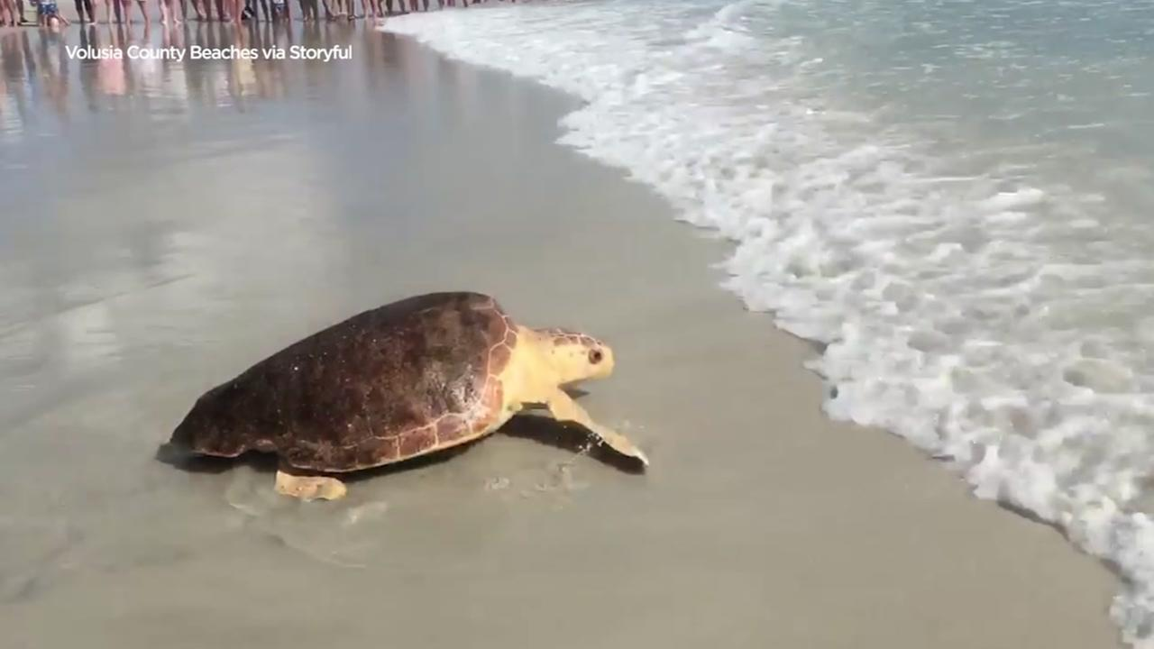 Watch: Loggerhead turtle triumphantly returns to the sea