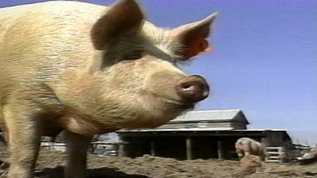 Jury says pork giant should pay $473.5M to neighbors of three NC hog farms