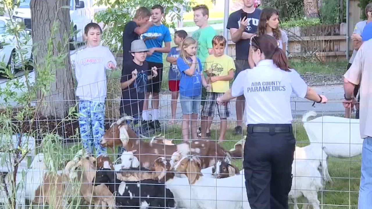 100 goats escape enclosure in Idaho
