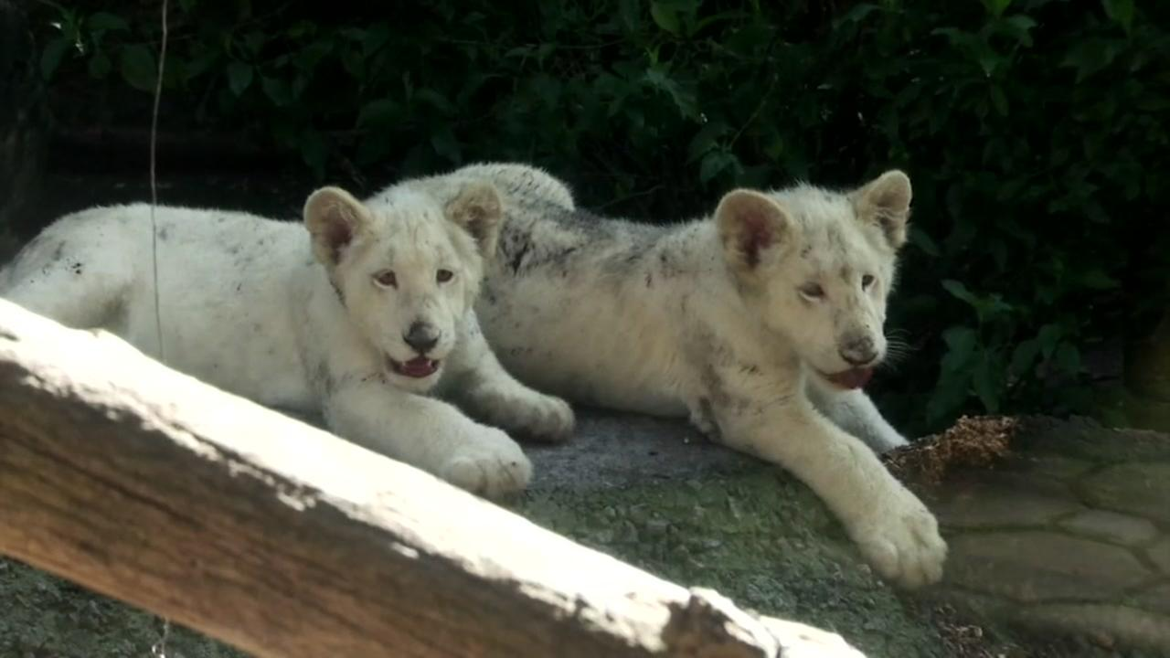 Two rare white lion cubs make their debut at the Altiplano Zoo in Mexico