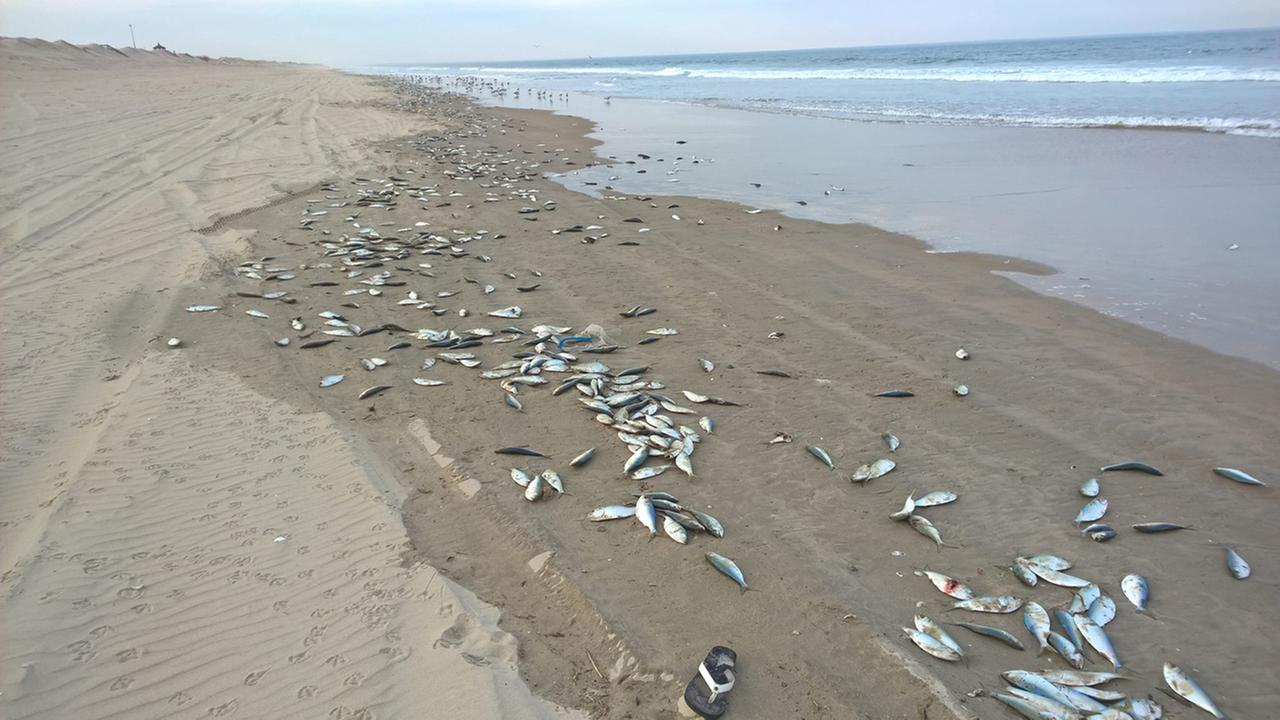 Dead fish line the beach in Corolla